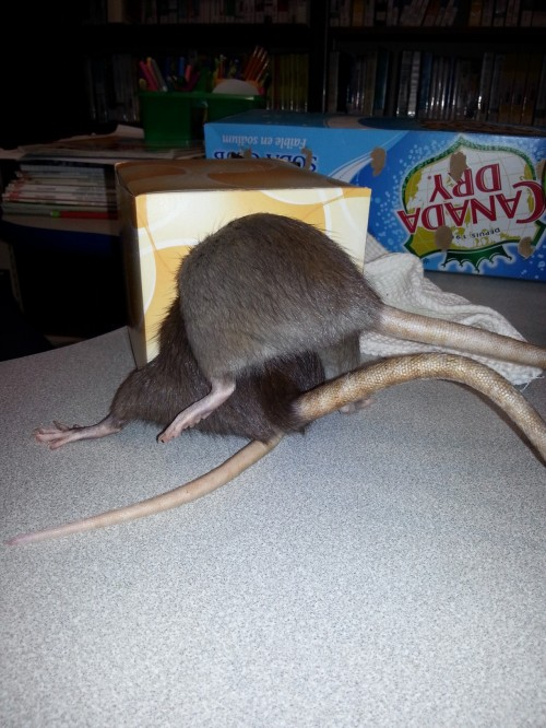 Testing the rat-capacity of a standard tissue box. For science!