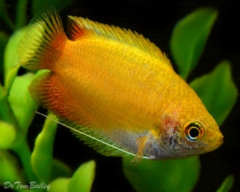 male_gold_honey_gouramis_110804b3_w0640